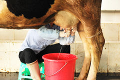 Hand milking Royalty Free Stock Images