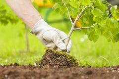 Hand mit dem Handschuh, der kleinen Baum mit Wurzeln pflanzt Stockfoto