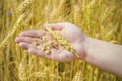 Hand mit den Getreideohren Stockbilder