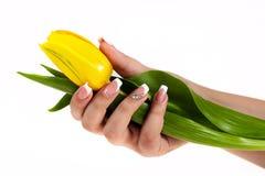 Hand mit der französischen Maniküre, die eine Tulpe hält Stockfotografie