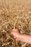 Hand mit drei Ährchen Weizen Stockfotografie