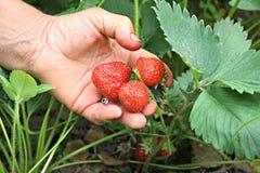 Hand mit Erdbeeren Stockfotos