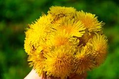 Hand mit hellem Blumenstrau? des gelben L?wenzahns stockfoto