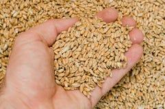 Hand mit Mais Lizenzfreies Stockbild