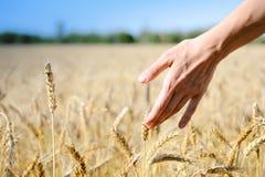 Hand mit Weizen auf sonniger Tagesdraußen Hintergrund Stockfotos