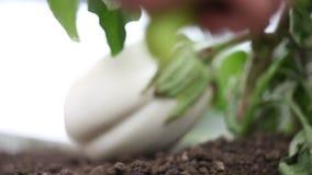Hand mit Werkzeugen funktionieren den Boden im Gemüsegarten der weißen Aubergine stock video footage