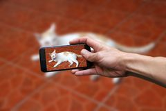 Hand with mobile phone take a photo of white cat with a little bit orange color.