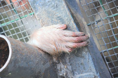 Hand of a monkey Stock Images