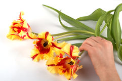 Hand moving three tulips Royalty Free Stock Images