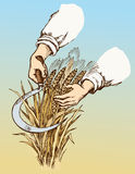 Hand mowing sickle wheat. Vector drawing Royalty Free Stock Photo