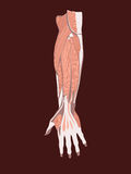 Hand muscles. Vector illustrtion of hand muscles Royalty Free Stock Image