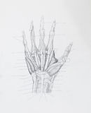 Hand muscles tendons pencil drawing royalty free stock images