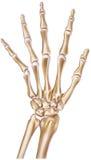 Hand - Normal Showing Bones and Joints. THe bones and joints of a normal human hand Stock Photo