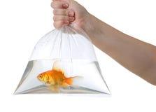 Hand och plastpåse med den guld- fisken på vit Fotografering för Bildbyråer