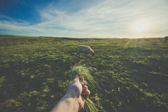 Hand offering grass to sheep