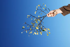 Hand offering mistletoe. Offering mistletoe is something nice, meaning friendship and love Stock Photos