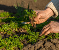 Hand of old Farmer seeding young Plant in Soil Stock Photos