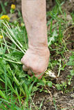 Hand of an old woman with a bunch of grass Stock Photos