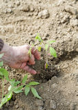 The hand of an old woman planting seedlings Stock Photography