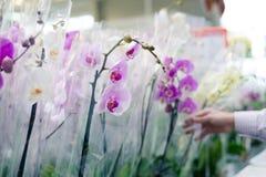Hand op bloeminstallatie die en mooie orchideeën in de supermarkt van de tuinafdeling op de het winkelen opslagachtergrond kiezen Stock Foto
