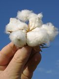 Hand with open cotton boll. Hand holding open cotton boll against blue sky Stock Photos