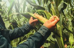 Hand opening corn on stalk Royalty Free Stock Photography