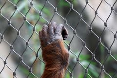 Hand of Orang Utan Royalty Free Stock Photo