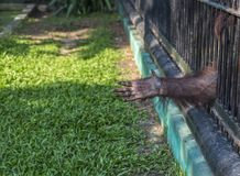 Hand of Orangutan try to reach to visitor. Or tourist frome the cage at a zoo. Wild Animals in a zoo of Thailand Stock Image