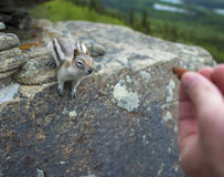 Hand outstretched offering nut to chipmunk on a rock stock image