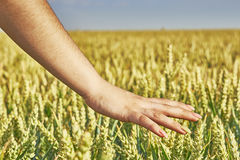 Hand over grain Royalty Free Stock Photography