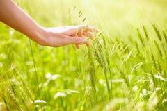 Hand over wheat Stock Photos