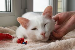 Hand of owner stroking young gentle white cat. White cat with its toy on a pink blanket near to the window. Hand of owner stroking young gentle white cat. White stock photography