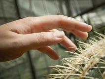 Hand på kaktuns Arkivfoto