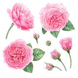 Hand painted botanical illustration of pink roses, buds and leaves. Set of watercolor detalized design elements. Hand painted botanical illustration of pink royalty free illustration