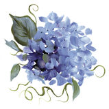 Hand-painted Hydrangea. A hand-painted hydrangea cluster Royalty Free Stock Images