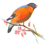 An hand painted illustration on white - Bird, Eurasian bullfinch Royalty Free Stock Photography