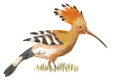 An hand painted illustration on white - Bird, Hoopoe. (original, acrylic painting Stock Photography