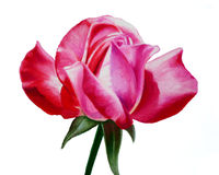 Hand painted oil pastel rose, beautiful pink long stemmed rose close-up illustration Royalty Free Stock Photos