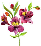 Hand painted pink alstroemeria. Stock Image