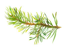 Hand painted spruce branch, watercolor Stock Images