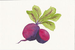 Hand painted watercolor of two beetroot Royalty Free Stock Image