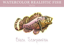 Hand painted watercolor edible fish. Vector design. Hand painted watercolor fish isolated on white background. Black scorpionfish, Scorpaena porcus, venomous Royalty Free Stock Photos