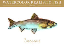Hand painted watercolor edible fish. Vector design. Hand painted watercolor fish isolated on white background. Coregonus lavaretus. Salmonidae, salmon family Stock Photo