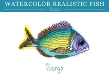 Hand painted watercolor edible fish. Vector design. Hand painted watercolor fish isolated on white background. Diplodus sargus, seabream, sargo, sparidae Royalty Free Stock Photography