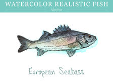 Hand painted watercolor edible fish. Vector design. Hand painted watercolor fish isolated on white background. EEuropean, Mediterranean seabass, Dicentrarchus Royalty Free Stock Photos