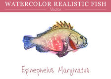 Hand painted watercolor edible fish. Vector design Stock Photos