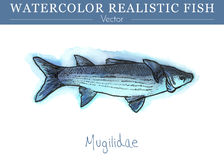 Hand painted watercolor edible fish. Vector design. Hand painted watercolor fish isolated on white background. Mugilidae, grey mullet. Mugilidae family fish Stock Photography