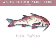 Hand painted watercolor edible fish. Vector design. Hand painted watercolor fish isolated on white background. The red mullet, Mullus barbatus, a species of Royalty Free Stock Image