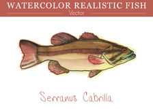 Hand painted watercolor edible fish. Vector design. Hand painted watercolor fish isolated on white background. Serranus cabrilla, Comber. Serranidae family Stock Images