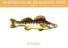 Hand painted watercolor edible fish. Vector design. Hand painted watercolor fish isolated on white background. Zander, Sander lucioperca, pike perch. Percidae Royalty Free Stock Image